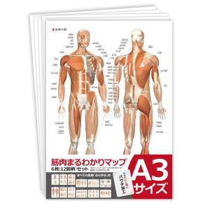 筋肉まるわかりマップ6枚セット【A3サイズ:パウチ仕様】