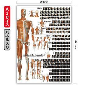 全身の骨格筋 特大筋肉ポスター(パネル入り) A1サイズ