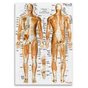 全身の筋肉 日本語名称付 「筋肉ジグソーパズル」B4サイズ muscle