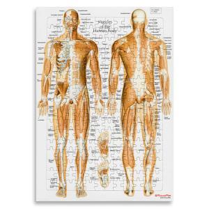 【アウトレット】全身の筋肉 【英語版】「筋肉ジグソーパズル」 B4サイズ|muscle