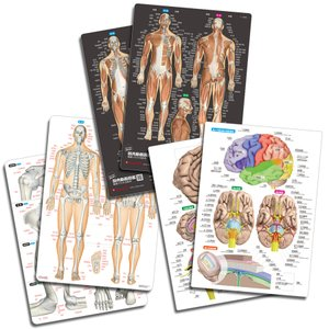筋肉(改訂版)&骨と関節&脳 人体まるわかりシート3枚セット【ふりがな付き】 muscle