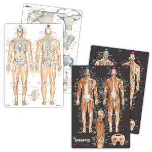 筋肉(改訂版)&骨と関節 人体まるわかりシート2枚セット【ふりがな付き】 muscle