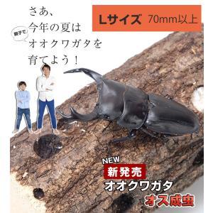 【新成虫 国産 オオクワガタ成虫オス】Lサイズ