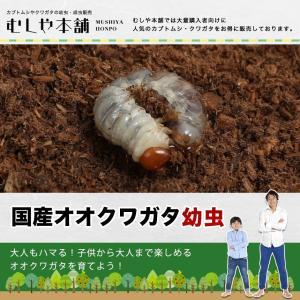 2019年孵化の幼虫です。  【和 名】オオクワガタ  【学 名】Dorcus hopei bino...