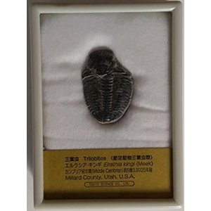 三葉虫 エルラシア キンギ|musubi-syop