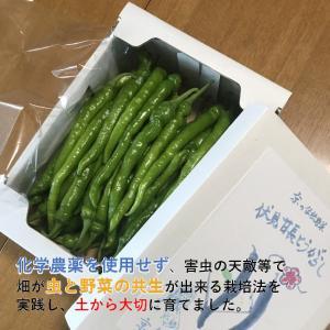 伏見甘長とうがらし 500g|my-cs-kyoyasai-pj
