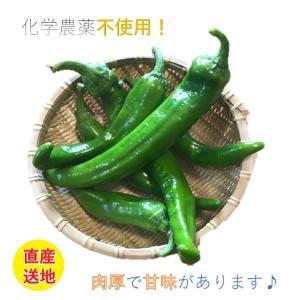万願寺とうがらし(青) 500g|my-cs-kyoyasai-pj