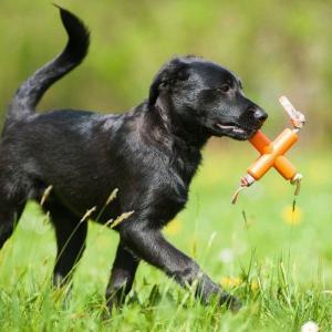 メジャードッグ Dog X(ドッグエックス) 天然ゴム製 犬用おもちゃ MAJOR DOG|nachu