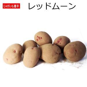 じゃがいも レッドムーン 種芋 500g ジャガイモ
