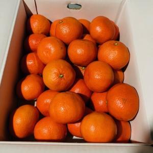 小原紅みかん 蜜柑 紅みかん みかん 2L 約5キロ 贈答用 家庭用 お歳暮 香川県産 国産