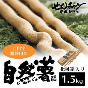 せんチャンファーム 自然薯 化粧箱入り1.5kg 三原ブランド認定 広島県|nemuriestore