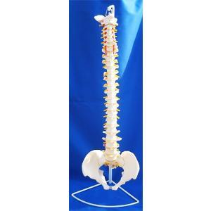 実物大!人体模型 可動型脊髄模型 /脊柱模型/神経/ヘルニア/椎間板付