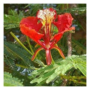 【種子】Delonix Regiaデロニクス・レジア◎世界三大花木の鳳凰木(ホウオウボク)◆5粒 [並行輸入品]|ni-store