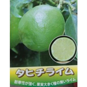 タヒチライム(3号ポット植え) :熱帯果樹苗 *樹高10センチ程度