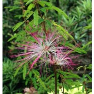 トキワネム:カリアンドラセロイ  5寸鉢植え(ネムノキ)