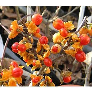 ツルウメモドキ(メス木)5寸鉢植え