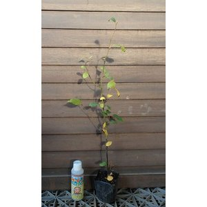クロモジ(3寸ポット) *樹形は様々です!!*樹高20〜40センチ程度!