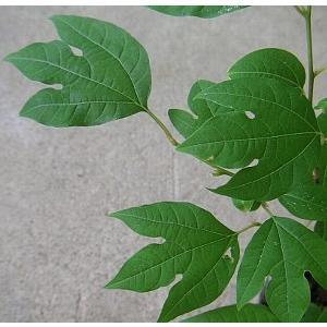 シロモジ(白文字) 樹高30センチ程度