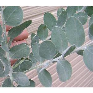 パールアカシア (樹高20〜40センチ程度)5寸鉢植え