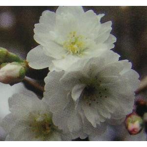大阪冬桜:オオサカフユザクラ(桜) 苗木 さくら 苗 サクラ
