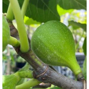 夏果 キング (イチジク):果樹苗