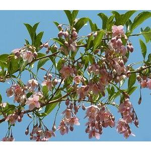 エゴノキ ベニバナエゴノキ 紅花エゴの木(5〜6寸鉢植え)