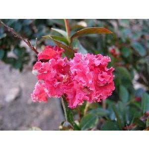 5寸鉢植え 矮性百日紅 赤花 (ワイセイサルスベリ)*主幹が歪曲している場合があります!