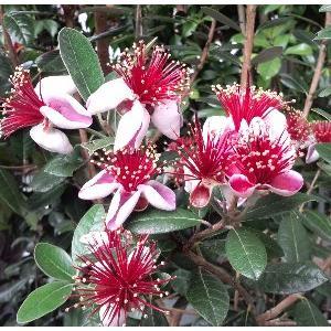 【5寸鉢植え】 フェイジョア(プリティーグリーン):果樹苗