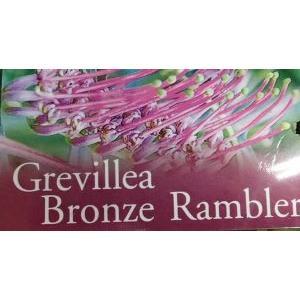 グレビレア ブロンズランバー 5寸鉢植え