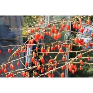 千成りクコ(千成枸杞):果樹苗