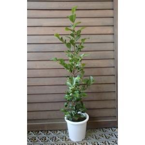 【5寸鉢植え】 ホンサカキ(本榊)