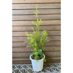 メラレウカ レボリューションゴールド (5寸鉢植え)