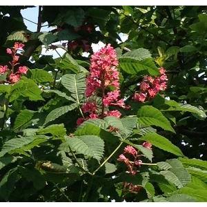 赤花マロニエ(アカバナトチノキ) 赤花栃の木