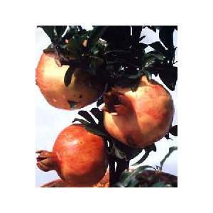 大甘ザクロ(日本ざくろ):果樹苗 日本ザクロ