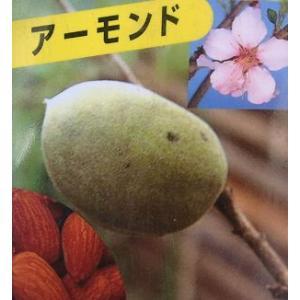 アーモンド(接ぎ木苗 5寸ポット植え) :果樹苗 苗 苗木