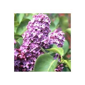 ライラック (紫花) 苗木 苗