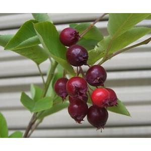 ジューンベリー(アメリカザイフリボク):果樹苗 ジュンベリー