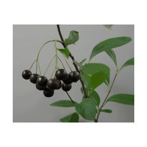 アロニア チョコレートベリー(チョコベリー):果樹苗