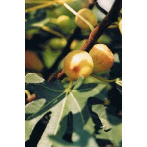 シュガーイチジク:果樹苗