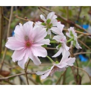 十月桜:ジュウガツザクラ(桜) 苗木 さくら 苗 サクラ