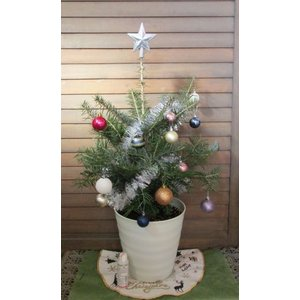 【11月下旬出荷開始!】モミの木(8号鉢植え) 本物のモミノキ