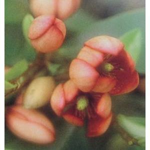 紅花カラタネオガタマ(ポット苗):ポートワインの木