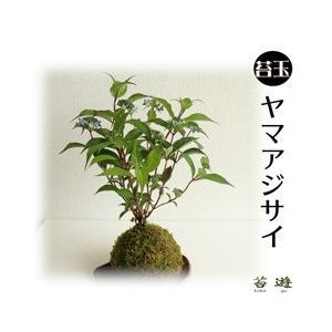 ヤマアジサイ 苔玉  販売期間4月〜6月|niigata025