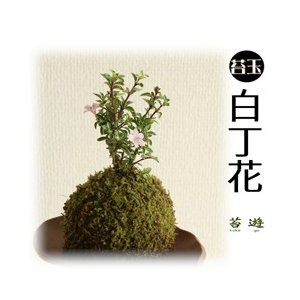 苔玉 白丁花 花言葉は「純愛」!|niigata025