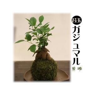苔玉 ガジュマル 園芸の里 秋葉からお届け!|niigata025