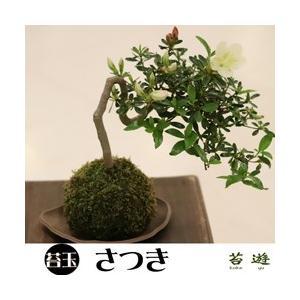 癒しの苔玉 さつき 園芸の里秋葉よりお届け|niigata025
