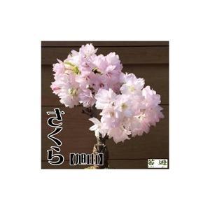 自宅でお花見! さくら 苔玉 旭山 販売期間11月〜3月|niigata025