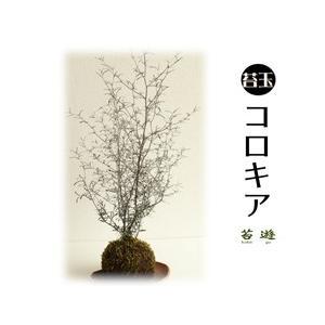 苔玉  コロキア  大人気の苔玉!|niigata025