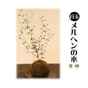 苔玉  メルヘンの木  大人気の苔玉!|niigata025