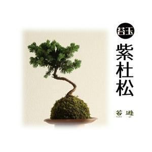 苔玉 紫杜松 大人気の苔玉!|niigata025